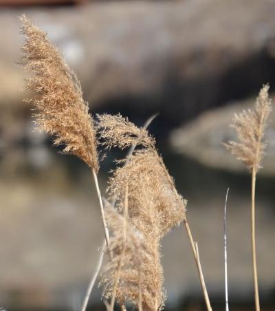 Grasses 4a